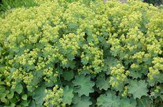 U bent op zoek naar een Alchemilla mollis (vrouwenmantel)? Tuincentrum Maréchal! ✔ Eigen kwekerij ✔ LAGE prijzen ✔ Uitgebreide planteninformatie