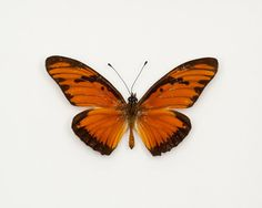 Real Insect Framed Butterfly Gulf Fritillary by BugUnderGlass