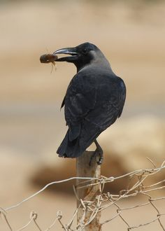 The House Crow (Corvus splendens), also known as the Indian, Greynecked, Ceylon or Colombo Crow,[2] is a common bird of the crow family that is of Asian origin but now found in many parts of the world.