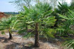 trachycarpus - Yahoo Image Search Results