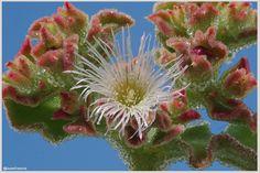 Flor comestible de ficoide glacial