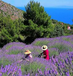 I could live in Hvar and have a lavender farm.