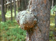 Burl on a spruce tree, used for making bowls :  Niġiñiutit: Traditional Nunamiut Household Cooking Utensils