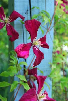 Spanish Clematis - Google Search