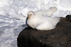 Snowy (Pale-faced) Sheathbill (Chionis albus) in South Africa's Eastern Cape province –- Sheathbills are a family of birds, Chionidae. Classified in the wader order Charadriiformes, the family contains one genus, Chionis, with only two species. They breed on subantarctic islands & the Antarctic Peninsula, & the snowy sheathbill migrates to the Falkland Islands & coastal southern South America in the southern winter; they are the only bird family endemic as breeders to the Antarctic region.