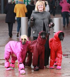 Dogs wearing raincoats arrive at  Crufts 2013 in Birmingham