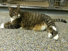 Kringles:  8 year old, healthy, sight challenged cat needing a home.