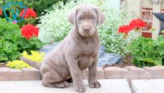 Penny   Labrador Retriever - Silver Puppy For Sale   Keystone Puppies Silver Labrador Retriever, Silver Lab Puppies, Loyal Friends, Design Development, Love People, Puppies For Sale, Pitbulls, Animals, House