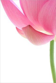 Pink Lotus Flower by Bahman Farzad, via Flickr