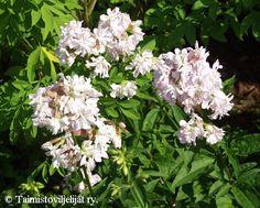 Saponaria officinalis 'Plena' Planters, Garden, Let, Color, Garten, Planter Boxes, Gardens, Colour, Tuin