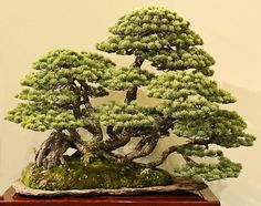 5 Japanese five-needle pine, Pinus parviflora Sinuous style, all root connected