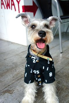 @ Robin Miller Miniature Schnauzer... Dad's next step... Dressing Bosman!