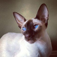 My beautiful chocolate point Siamese cat.