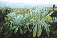 Pajonal frailejonal con Espeletia schultesiana, endémica de los páramos en los alrededores de la laguna La Cocha.