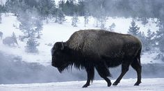Witness Yellowstone National Park in winter as veils of snow create a stunning backdrop for bubbling hot springs, thermal pools, pristine landscapes and the region's unique wildlife.