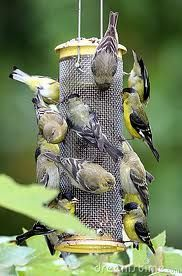 gold finches - Iowa's state bird  Looks like the feeder in my yard here in OR