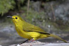 Yellow-browed Bulbul - S. India & Sri Lanka