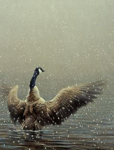 Stretching Canada Goose | Robert Bateman | Artwork | National Museum of Wildlife Art