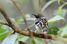 Foto guarda-floresta (Hylophylax naevius) por Bruno Rennó | Wiki Aves - A Enciclopédia das Aves do Brasil