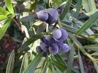 Illawarra plum is a wild plum native to sub-tropical Australia.The vivid purple fruit has a plum flavour