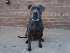 GONE --- TBD UNKNOWN STATUS 07/12/14  Brooklyn Center    My name is KENNY. My Animal ID # is A1005034.  I am a male blue am pit bull ter mix. The shelter thinks I am about 10 MONTHS old.   I came in the shelter as a OWNER SUR on 06/29/2014 from NY 11204, owner surrender reason stated was ATT ANIMAL.   https://www.facebook.com/photo.php?fbid=835779559768258&set=a.835779523101595.1073743209.152876678058553&type=3&theater