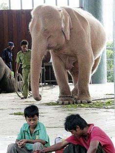 Albinismo (267)Pachidermi Elefante