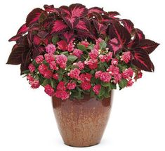 """""""Ace of Hearts"""" container design by Proven Winners. Rockapulco """"Coral Reef"""" double impatiens plants) and ColorBlaze """"Kingswood Torch"""" coleus plant). Container Flowers, Container Plants, Container Gardening, Container Size, Flower Gardening, Gardening Tips, Double Impatiens, Coleus, Porches"""