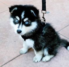 Little baby husky dogs love animals pets Cute Puppies Golden Retriever, Cute Husky Puppies, Fluffy Puppies, Rottweiler Puppies, Puppy Husky, Cute Baby Husky, Puppies Puppies, Dachshund Puppies, Husky With Blue Eyes