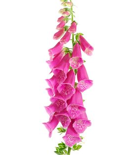Bell-shaped foxglove flowers add a delicate note to spring wedding bouquets and centerpieces for a floral cascade with a touch of texture. Spring Wedding Bouquets, Wedding Flowers, Bridal Bouquets, Wedding Trends, Wedding Ideas, Wedding Details, Wild Flowers, Dream Wedding, Centerpieces