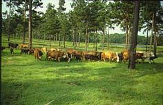Homer Louisiana Louisiana Hill Farm Experiment Station | Silvopastoral Agroforestry Practices for Small Farm Management