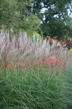 Buy Chinese silver grass Miscanthus sinensis 'Kleine Silberspinne': Delivery by Waitrose Garden in association with Crocus