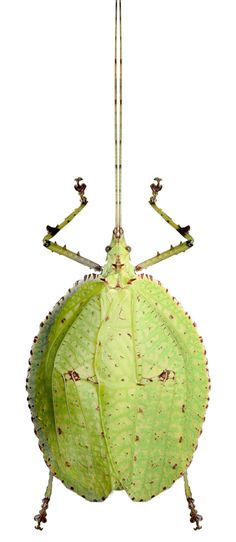 Despoina spinosa Weird Insects, Bugs And Insects, Types Of Bugs, Insect Photography, Cool Bugs, Bizarre, A Bug's Life, Beetle Bug, Beautiful Bugs