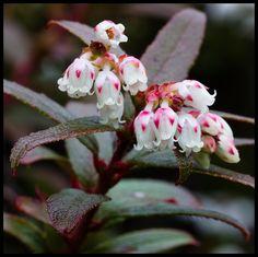 Gaultheria hispida - Snowberry