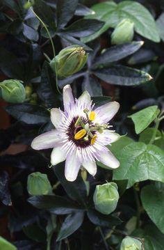 Passiflora caerulea'Clear Sky' トケイソウ・クリアスカイ