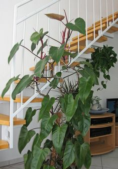 #philodendron