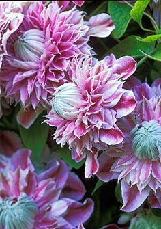 Clematis 'Josephine'. Fantastic showy climber with flowers that last the whole season. One of my faves.