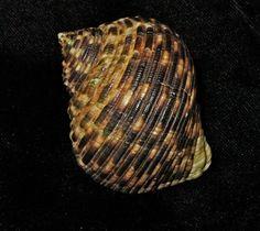 Turbo (Marmarostoma) setosus  -  P.Kanner