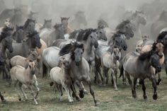 Wild Mustangs; Lot's of Gray.