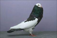 bohemian pouter fancy pigeon by ryan bateman
