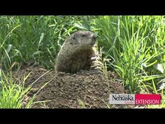 How To Get Rid Of Groundhogs, Woodchucks and Voles | hubpages