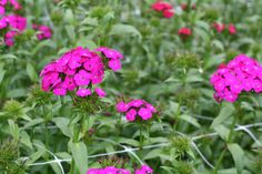 dianthus-purple. tall. $7.00/bunch