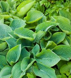 This blue-green leaved hosta is lovely. The textured leaves are joined by white flowers in the spring.