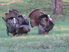 3 against 1 turkeys in April