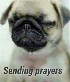 Sympathy Prayers, Sending Prayers, Cute Pugs, Cute Puppies, Dogs And Puppies, Funny Pugs, Cute Baby Animals, Animals And Pets, Funny Animals