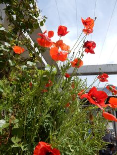 Australia - ACT - Canberra - National War Museum - The beautiful poppies in the garden boxes outside Poppy's Restaurant at the Australian War Memorial. Aviation Magazine, Houses Of Parliament, Garden Boxes, History Museum, National Museum, Poppies, The Outsiders, Australia, Restaurant