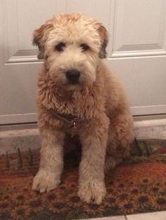 This is my wheaten terrier, my Molly, my best friend, my puppy sister!!!!