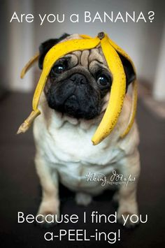 All I desire for Christmas in a ton of pugs. Doug The Pug - Christmas Pugs All I want for Christmas in a ton of pugs. Funny Dog Memes, Funny Animal Memes, Funny Dogs, Funny Animals, Memes Humor, Pug Quotes, Pugs And Kisses, Baby Pugs, Bulldog