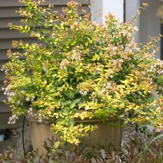 Proven Winners | Bronze Anniversary™ - Abelia grandiflora  This is the variety I have on the side bed.