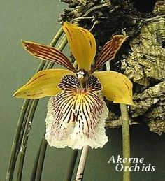 Scuticaria Orchid | orchids wiki houlletia brocklehurstiana is an orchid species found in ...