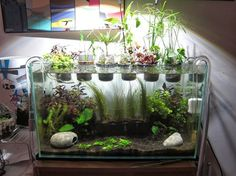Aquarium Care for the Freshwater Guppy Guppies are maybe the most popular type of freshwater fish to keep in a fish tank. Aquarium Garden, Diy Aquarium, Nature Aquarium, Aquarium Design, Planted Aquarium, Best Fish For Aquaponics, Indoor Aquaponics, Hydroponic Fish Tank, Aquaponics Garden